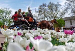 Tulipán Fesztivál