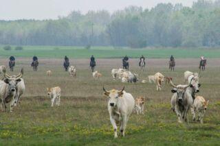 Állatok terelése, szürkemarha gulya tavaszi kihajtása lóháton Ópusztaszeren